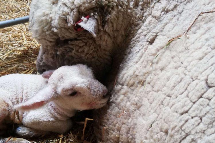 New born lamb