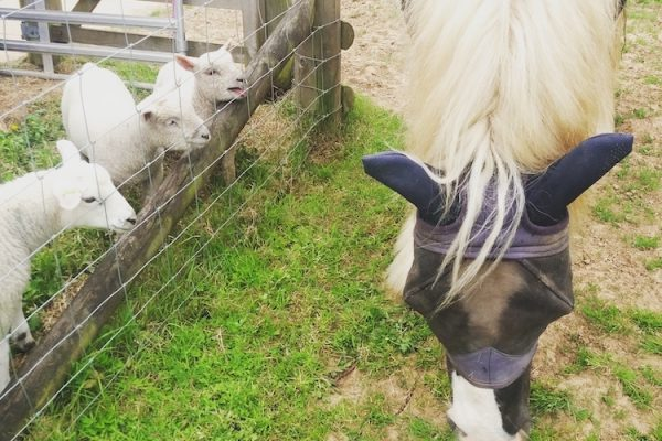 Pony and lambs