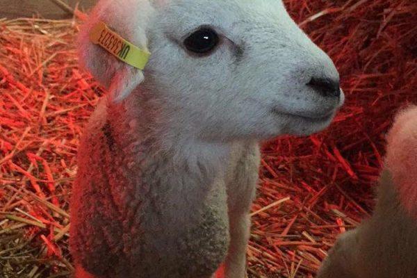 Lamb at Odle Farm